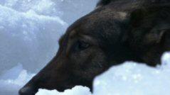 南極物語樺太犬.jpg